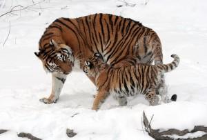 Самка уссурийского тигра с тигренком