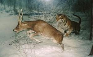 Тигр преследует пятнистого оленя (Cervus nippon)