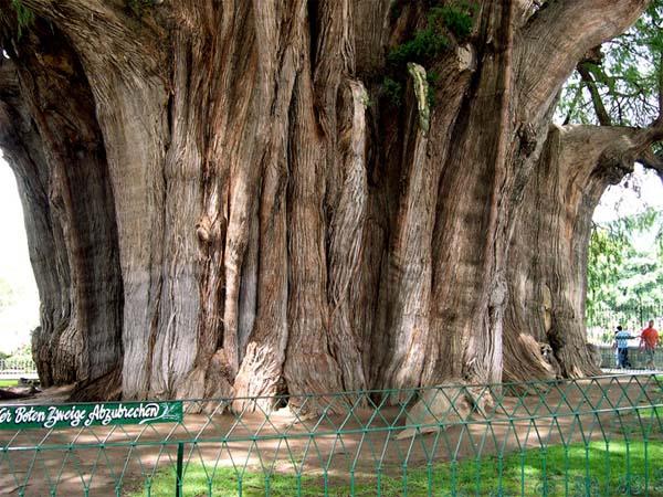 Тульское дерево